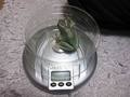 frog-weight2.jpg