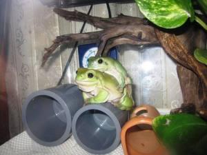 frog_dakituki3.jpg