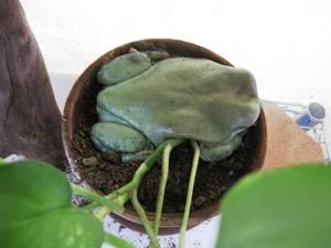 frog-roku6.jpg